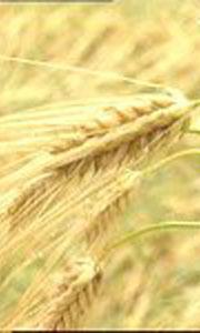 Kornåkre må vike dersom politikerne sier ja til næringsvirksomhet på Benstrud i Holmestrand.