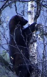 Naturvernforbundet krever at direktoratet gjør rede for metodene som brukes i jakt på jerv.