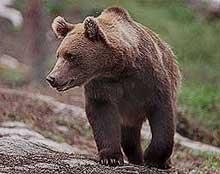 Jegere leter etter skadeskutt bjørn i Trysil.