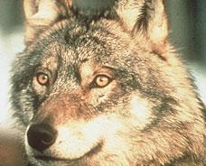Sort-Elvdal kommune krever at ulvene på Koppangskjølen fjernes. (Foto: Scanpix)