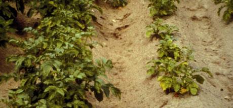 Hvit potetål ødelegger rotsystemet på potetplantene. Både veksten og avlingen blir dårlig. (Foto: Bonsak Hammeraas, Planteforsk)