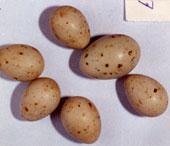 Her har gjøken etterlignet bjørke-finkens egg. Gjøkegget er det i midten til høyre. Foto: Bård Stokke.