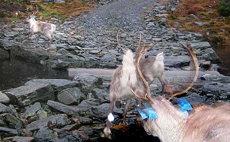Reinsdyr som vart sett ut i Sunnfjord-fjella i fjor. Arkivfoto: Svein Ove Hansli NRK