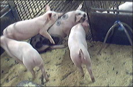 <b>Her er vinnerbildet: </b>Det ser da ut som grisene hygger seg i hverandres selskap!