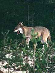 Denne ulven ble fotografert på to meters hold etter at 20 sauer måtte avlives etter ulvens herjinger i Nordskogbygda på Elverum 2002. Foto: Vegard Moberget / SCANPIX