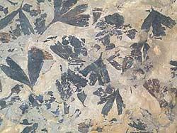 Fossile Ginkgoblader (Foto: Naturhistorisk museum, UiO)