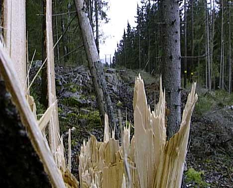 Trærene er blåst over ende av vinden ( Foto: NRK )