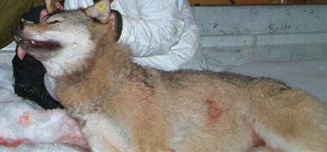 Søndag ble den første ulven, en radiomerket tispe, skutt nord for Koppang.(Foto:Privat)