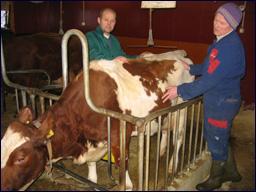 Bonde Jan Hoem var heldig fikk hjelp av veterinær Lasse Havnes før klokka 16. Foto: Gunnar Sandvik