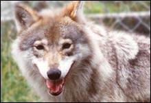 Finnene vil at ulven selv forteller hvor mange de er. Foto: Per Løchen / SCANPIX