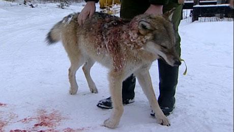 Denne ulven ble skutt i Åsta ( Foto: NRK )