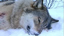 Tre ulver, som alle trolig har tilhørt Halden-Ed-flokken, er funnet døde de senere årene. Arkivfoto: NRK