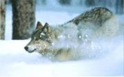Sporing av ulv i snø ble ikke foretatt i Østfold/Dalsland vinteren 2004/2005 på grunn av manglende snø. Foto: William Ripple