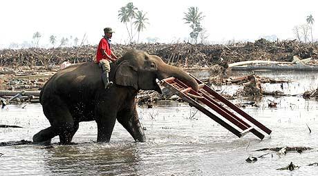 Elefantane kom seg unna bølgjene. Her rydder dei opp i Banda Aceh (Foto: Reuters/Tarmitsy Harva)