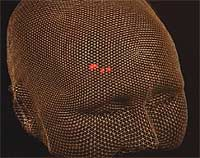 Forelskelsessenteret i hjernen (Grafikk: Inge Rasmussen, St. Olavs hospital)