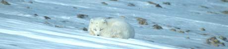 Polarrev i vinterpels på Svalbard (Foto: Marie Lier)