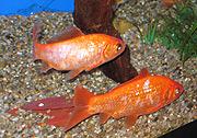 Det er mange fiskearter å velge mellom til akvariet. Bunnmaller holder det rent. Foto: NRK