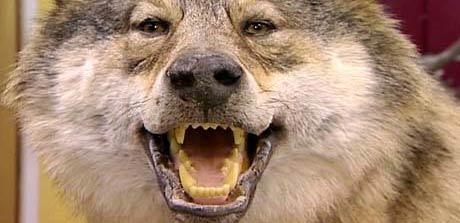 Denne ulven er blitt utstoppet av Teig tidligere i vinter. Foto: NRK