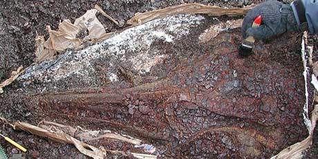Fiskeøgle-hodeskalle (Foto: Jørn Hurum)