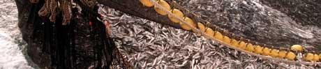 Fiskebåtredernes forbund ventar kamp med Island om silda, men vil ta 65 prosent av totalkvoten uansett. (Foto: Scanpix)