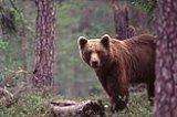 Bjørnen herja stygt i husdyrflokkane på 1800-talet.