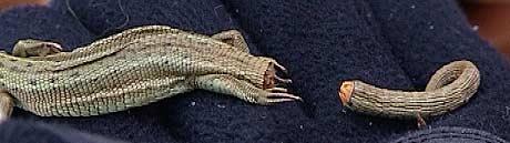 Firfisla kapper av seg halen hvis den blir utsatt for fare (Foto: NRK)