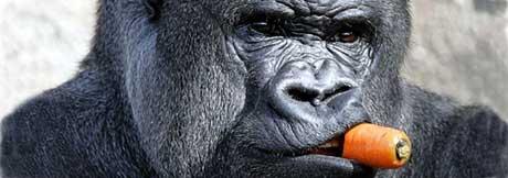 Se opp for gorillaen. Illustrasjonsfoto: AFP Photo