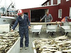 Det er forbudt å selge fisk fra fiskebrukene i Lofoten. Foto: Lise Åserud / SCANPIX