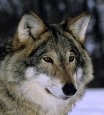 Rundt 150 hunder er registrert drept av ulv de siste ti årene. De fleste hundeeierne deltok i undersøkelsen. Ulv Foto: Arne Nævra