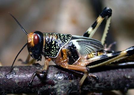 Gresshopper er utsatt for parasitter og sykdommer. Foto: Jan Ove Rein.