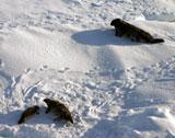 Klappmyssen kalver på isen i april. Foto: Trine Hamran.