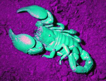 Keiserskorpionen fluoriserer i ultrafiolett lys. Foto: Jan Ove Rein.
