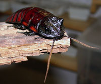 Nærbilde av en hvesekakerlakk-hann (hannene har to horn og hårete antenner). Foto: Jan Ove Rein.