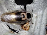 Nærbilde av en hodeskallekakerlakk (Blaberus sp.). Foto: Jan Ove Rein.