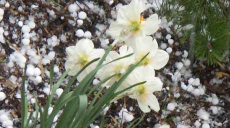 """""""Hvitt i hvitt"""" er nok en korrekt beskrivelse av blomsterbedene i Halden-området søndag ved middagstider. Foto: Rainer Prang, NRK."""
