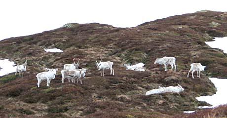 Reinsdyr under Fauskevarden i Førde april 2005 - foto: Steinar Lote