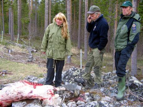 DREPT AV BJØRN: Bente Aamodt, Esben Bø og Tore J. Haugen inspiserer sauekadavra i Skjåk.