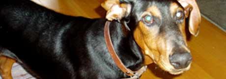 Hunden Bentley vart smugla inn frå Kosovo. (Foto: Espen Hatlestad/NRK)