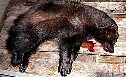 Denne hannjerven ble felt i nabokommunen Gildeskål i fjor. Foto: Vegard Pedersen.