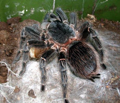 Den brasilianske regnskogstarantellen Lasiodora parahybana er en av verdens største edderkopper, med beinspenn på over 25 cm. Denne arten er som regel tilgjengelig takket være at vi har hatt avl av arten i Norge. Foto: J.O. Rein.
