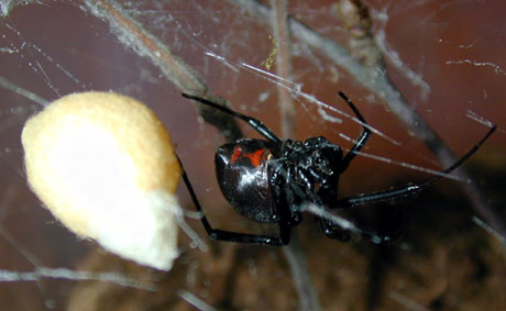 Den østlige sorte enken (Latrodectus mactans)regnes som den mest problematiske av de tre artene i USA fordi den trives ekstra godt i forbindelse med menneskelig aktivitet. Her en hunn som vokter sin eggsekk. Foto: Jan Ove Rein.