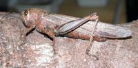 Gresshoppene har fått bakbeina modifisert til kraftige hoppebein, og den egyptiske gresshoppen (Anacridium aegyptum)kan hoppe langt avgårde samtidig som den bruker vingene til å sveve med. Foto: Jan Ove Rein.