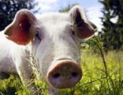 Det er ikke mer penger å tjene på grisehold.