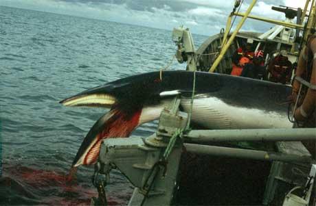 Norsk hvalfangst er omdiskutert. Bildet viser en hval tatt i 1993 under forskningsfangst. (Foto: Scanpix)