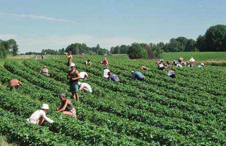 Hver sommer det mange fra Øst-Europa til Norge for å plukke jordbær. Foto: Roland Schgaguler, Scanpix.