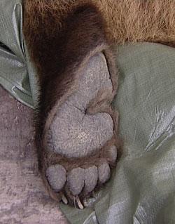 Denne bjørnen ble skutt i Elverum.