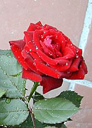 Roser bidrar også til at drammen til damene i Naturens verden blir enda bedre. (Foto: Inger Lise Østmoe)