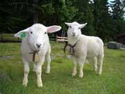 Lammene på Nordgardsetra er populære hos små og store gjester. Foto: Nordgardsetra.