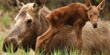 Beskyttende og temperamentsfull: Elgku med sin nyfødte kalv i nærheten. Arkivfoto: Scanpix