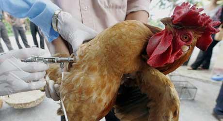 Vietnam har startet et landsomfattende vaksinasjonsprogram for fjørfe (Scanpix/AFP)
